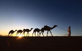 گله داری سعودی گله ی شتر خود را به سمت خانه هدایت می کند