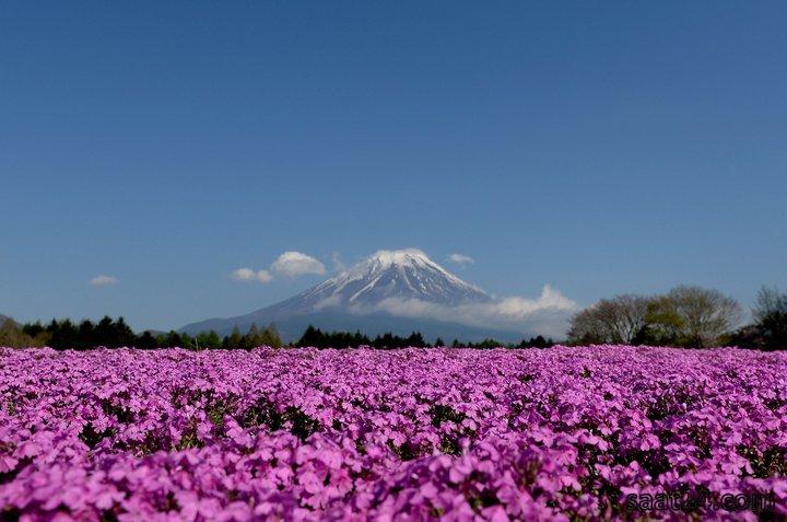 شکوفه دادن گیاه شیبازاکورا در ژاپن