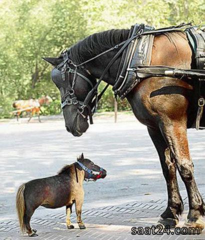 کوچکترین اسب