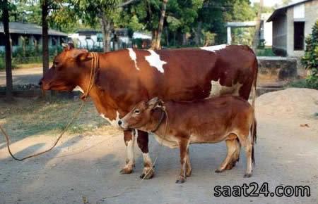 کوچکترین گاو