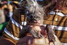 (تصاویر) مسابقه ی زشت ترین سگ های دنیا