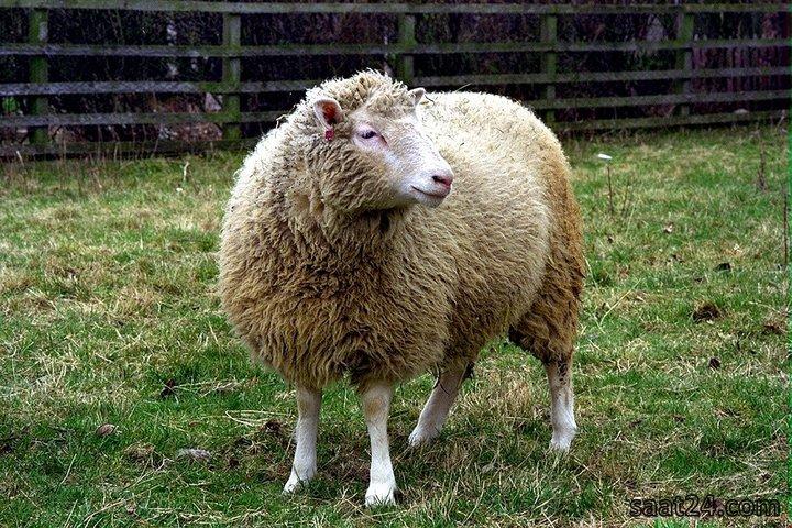 دالی گوسفنده
