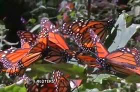 پروانه های سلطنتی مکزیک در معرض خطر