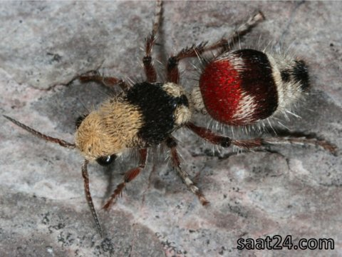 velvet-ant-technically-a-wasp
