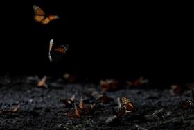 (تصاویر)زندگی و مرگ پروانه های شهریار در مهاجرت