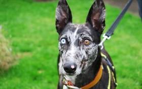 سگی با چشم های دو رنگ