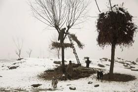سرینگر در کشمیر تحت کنترل هند چوپانی در حال کندن برگ های خشگ درختان برای گله گوسفندان