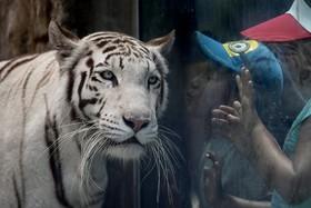 کودکی در باغ وحشی در لیما پایتخت پرو در حال دیدن یک ببربنگال سفید