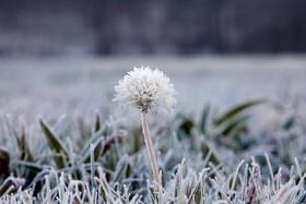 گل قاصدک یخ زده در منطقه گالیسیا اسپانیا