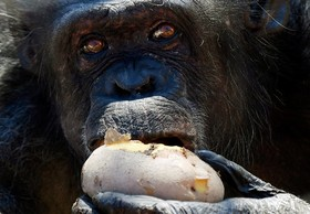 یک گوریل در باغ وحشی در رم در ایتالیا در حال خوردن سیب زمینی داغ در زمستن
