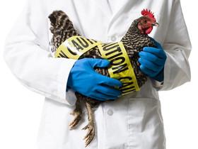 مورد ابتلا به آنفلوآنزای پرندگان گزارش نشده است
