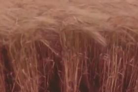 علفی که خاک را بارور می کند