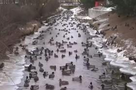 پناه بردن اردک های وحشی به رودخانه ای در روسیه