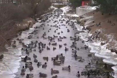 پناه بردن غازهای وحشی به رودخانه ای در روسیه