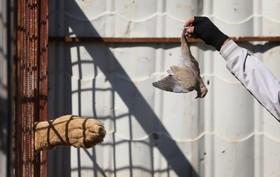 تغذیه شیر با پرنده ای مرده در باغ وحش موصل عراق