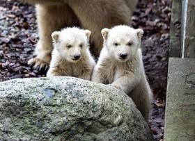 خرس های قطبی تازه متولد شده در باغ وحش آلبورگ در دنمارک