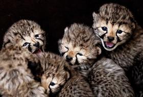 پنج توله یوزپلنگ در باغ وحشی در هلند
