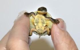 نوزاد لاکپشت تازه متولد شده در باغ وحشی در استرالیا
