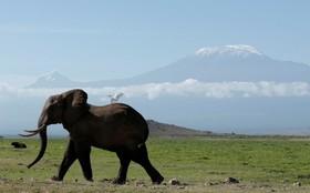 یک فیل در جمنزاری در نزدیکی کوه کلیمانجارو در کنیا