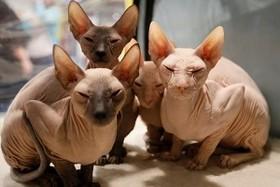 گربه های بی مو