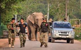اسکورت یک فیل که 56 کیلومتر از محل زندگی خود دور افتاده بود به پارک ملی کوآ کیچاکوت در تایلند