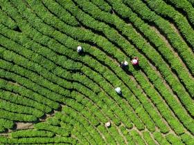 برداشت برگ سبزچای در شهر شینیانگ در چین