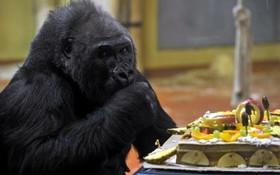 پیرترین گوریل باغ وحش بوداپست در جهلمین روز تولدش