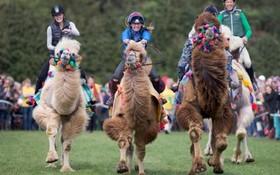 مسابقه شترسواری در انگلیس