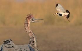 درگیری یک هد هد پرنده کوچک با حواصیل  که پرنده بزرگی که چند برابر وی است