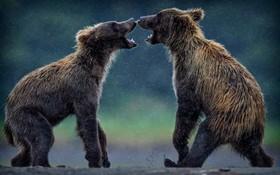 دو بچه خرس گیزلی در مناطق جنگلی آلاسکا در حال بازی
