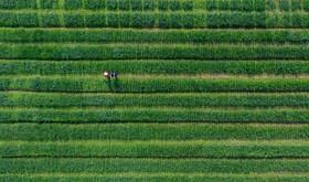 یک زمین کشاورزی و چینی های در حال کار