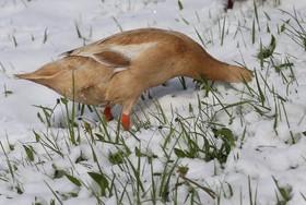 اردکی که در برف به دنبال غذا سربه زیربرف کرده در آلمان