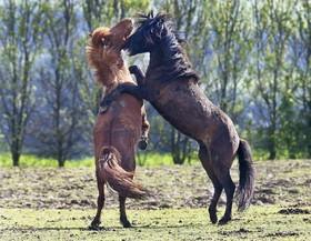 بازی اسب ها در فرانکفورت در آلمان