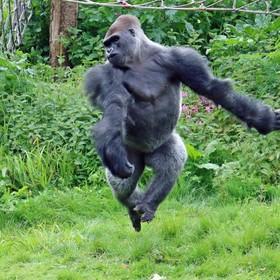 گوریل در حال بازی در باغ وحشی در انگلیس