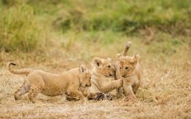 بازی بچه شیرها در پارک ملی کنیا