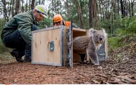 بازگرداندن کوالاهایی که در آتش سوزی سال 2009 و از بین رفتن محیط زندگی آنان در پارک کینگ لیک در ملبورن استرالیا از بین رفته بود به محل زندگی شان بازگردانده می شوند