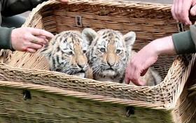بچه ببرهای متولد شده در باغ وحش لاپزیک