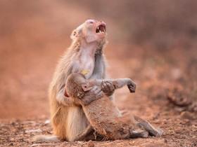 عکسی عجیب از شیون و عزاداری میمونی برای مرگ فرزندش که یک عکاس هندی ثبت کرده است