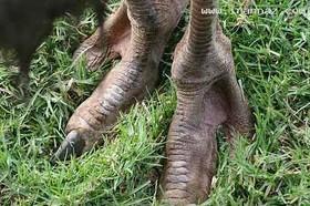 پاهای بسیار عجیب افراد قبیله ای آفریقایی/عکس