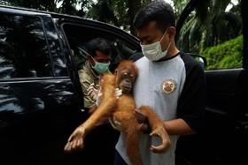 نجات یک اورانگوتان و مادرش در سوماترای شمالی در اندونزی که در منطقه تولید روغن پالم گرفتار شده بود