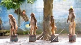 یک مرکز آموزش میمون ها در چین