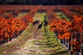 کانگروها در مزرعه انگور در آدلاید استرالیا
