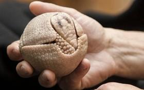 یک آرمادیلو نوزاد یک ماهه که نوعی است که می تواند در هنگام خطر به یک توپ تبدیل شود در باغ وحشی در لهستان