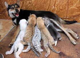 سگی در رونگ چنگ در چین در محل نگهداری حیوانات به چهار بچه پلنگ وحشی ویک سگ بی مادر شیرمی دهد