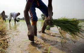 کشت برنج در امریتسر هند