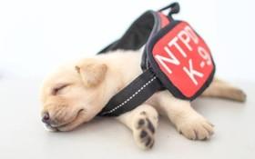 توله سگی که از جمله گروه سگ هایی است که برای خدمت در پلیس تایوان به کار گرفته شده است