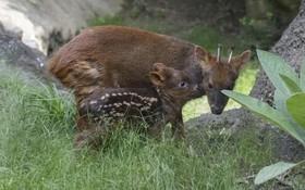 تولد پودوفان یک توله  از انواع کوچکترین گوزن در مرکز نگهداری حیات وحش در نیویورک