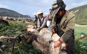 فصل پشم چینی در روستایی در تبت چین در فصل گرما