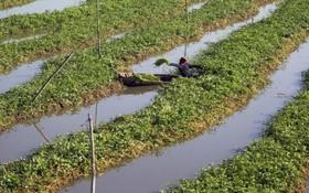 یک کشاورز در حال برداشت سبزی در پنوم پن ویتنام