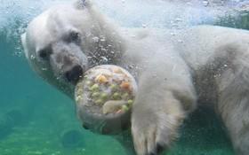 خرس قطبی در حال خوردن کیک یخی در باغ وحشی در هانور آلمان